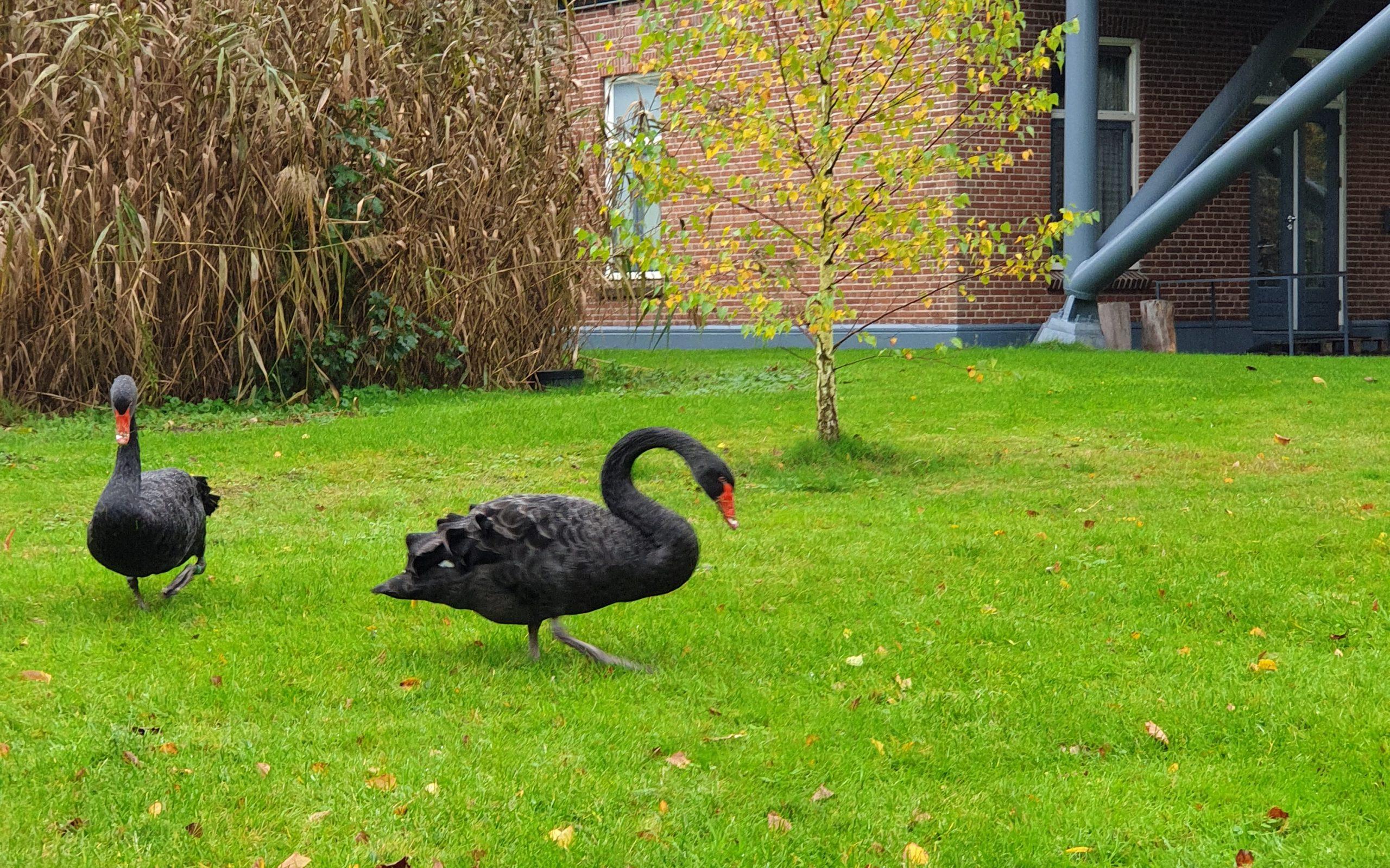 Kloosterhotel ZIN Zwarte zwaan buiten dieren verblijf rust groen